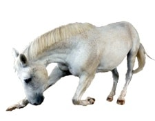 Articulations Cheval