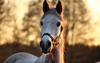 Les produits homéopathiques pour le cheval