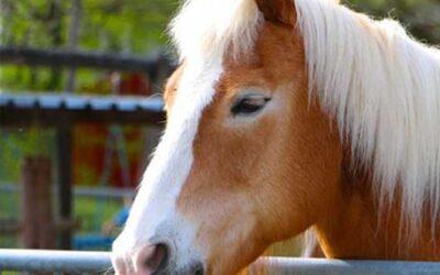 Maladies respiratoires du cheval : Causes, symptômes, traitement