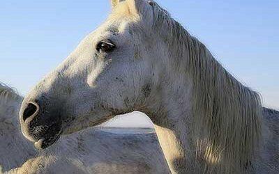 La dermite estivale : un fléau pour le cheval