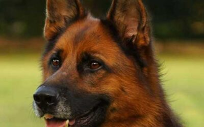 Comment bien nettoyer les oreilles de votre chien ?