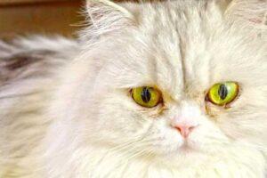Surpoids du chat